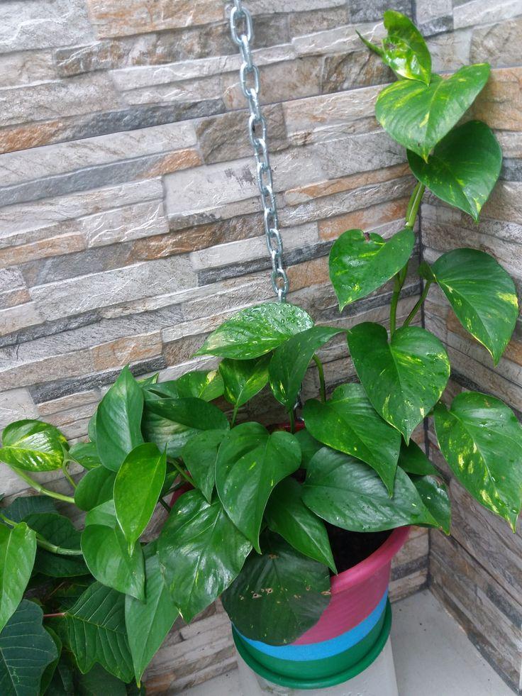 """Hera-do-diabo, Jibóia, Photos de ouro - """"Epipremnum aureum"""". Considerada uma das 5 plantas recomendadas pela Nasa para purificar o ar.  Custo 0€: Reproduzida de outra planta, Vaso recuperado do lixo"""