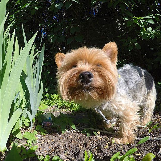 Ambush! #littleyorkierufus #rufus #yorkie #yorkshireterrier #dog #littledog #instayorkie #yorkiesofinstagram #furball #dogpics #dogphotography #cutie #dogstagram #yorkielove #yorkki #terrier #terrieri #yorkshirenterrieri #cutedog #helsinki #green #helsinki #finland #kulosaari