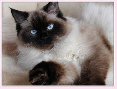 Himalayan cats for sale edmonton