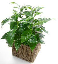 Coffea arabica (coffee plant). Easy houseplant that can grow to 6 feet.