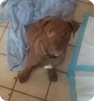 Winchester, VA - Boxer/Pit Bull Terrier Mix. Meet Joseph, a puppy for adoption. http://www.adoptapet.com/pet/18486080-winchester-virginia-boxer-mix