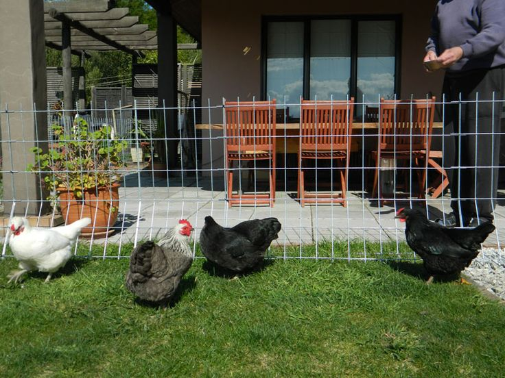 How to Install Chicken Wire Fence - http://arto.akrondmc.com/how-to-install-chicken-wire-fence/ : #MetalFence The installation of a chicken wire fence allows chickens to chicken free range for bugs and grass. The fence should be high enough so that the chickens cannot fly over it and strong enough so that predators cannot enter. A fence of chicken wire also provides the owners with a window to the...