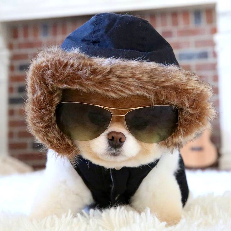 47 Best Images About Dogs Boo Amp Buddy Pomeranians On