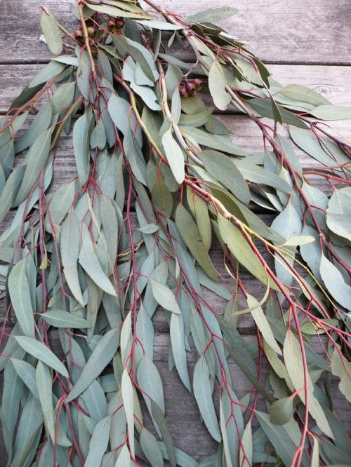 eucalyptus for red/orange dyes: