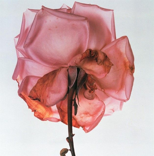 Irving Penn, from Flowers, 1973