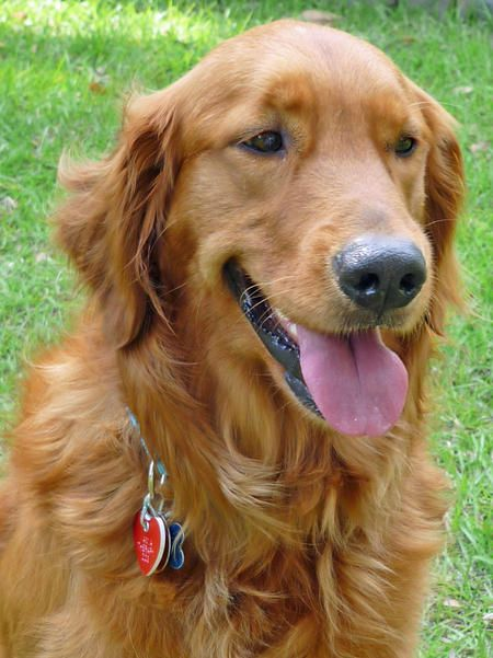 Golden Retriever. Love his coat color! So want a golden retriever someday.