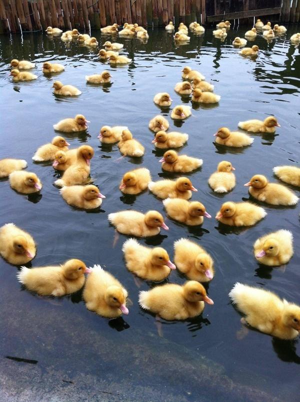 Duck duck, duck ,duck