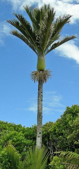 NZ Nikau - Rhopalostylis sapida. The only endemic NZ palm. Very upright growth habit resembles a feather-duster. There is a Nikau Street at New Lynn, West Auckland, NZ.