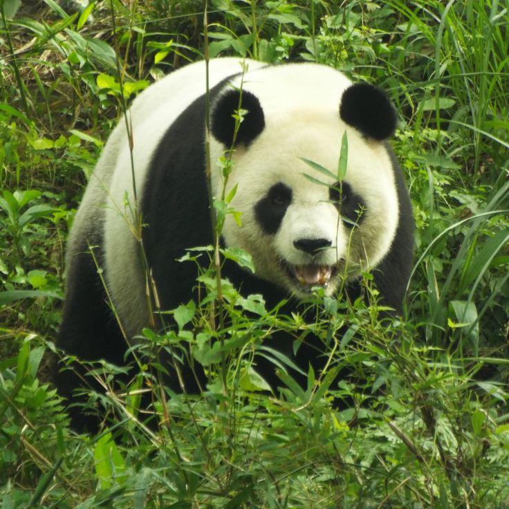 Pandas at Taipei Zoo >> 17 Things To Do in Taipei | Taiwan Travel Guide #travel #taiwan #destination #taipei #citybreak #asia #travelblogger #guide #todo