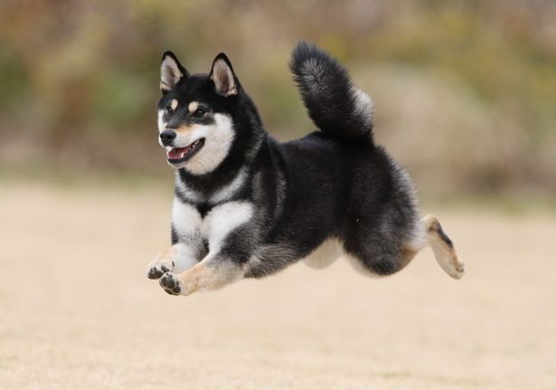 another accomplished Shiba inu flying effortlessly...