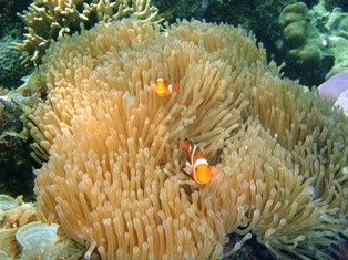 Underwater Lengkuas Island, Belitung, Indonesia. Yes, we can see the fish and the coral clearly :)