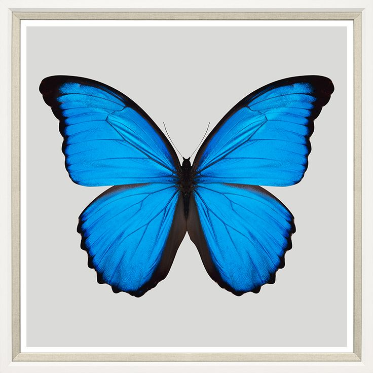 TROWBRIDGE Gallery - Blue Morpho Butterfly (Link: http://www.trowbridgegallery.com/display-set.php?SetCode=PAJC10)