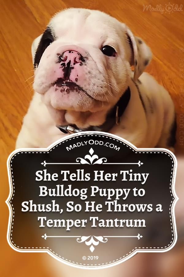 You Know How Bulldogs Are They Can Be Bossy Especially