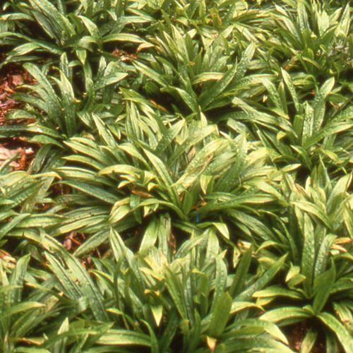 279 best Carex images on Pinterest Ornamental grasses, Garden - carex bronze reflection