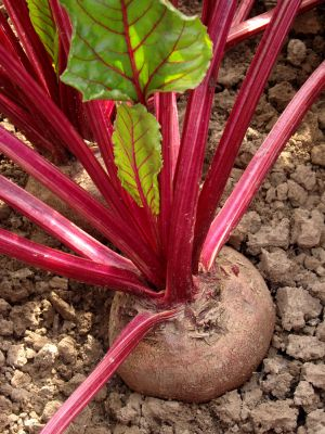 Beets are a fast growing, cold weather crop that can be grown in late spring and fall. Here's how to grow beets with a few guidelines to help them flourish.