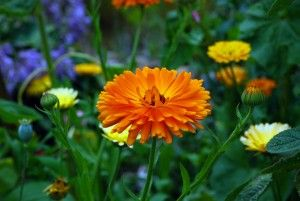 Great Plants for February color: Add a splash of color in your garden right when it needs is most! Calendula, Camellia, Cyclamen, Dianthus, Pansy & Viola, Iceland Poppy, Primrose, Snapdragon