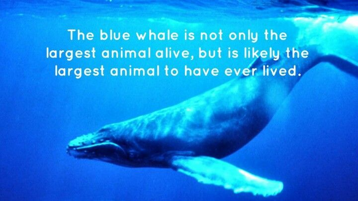 Blue whale fact   Animals   Pinterest   Whale facts, Blue and Blue ...