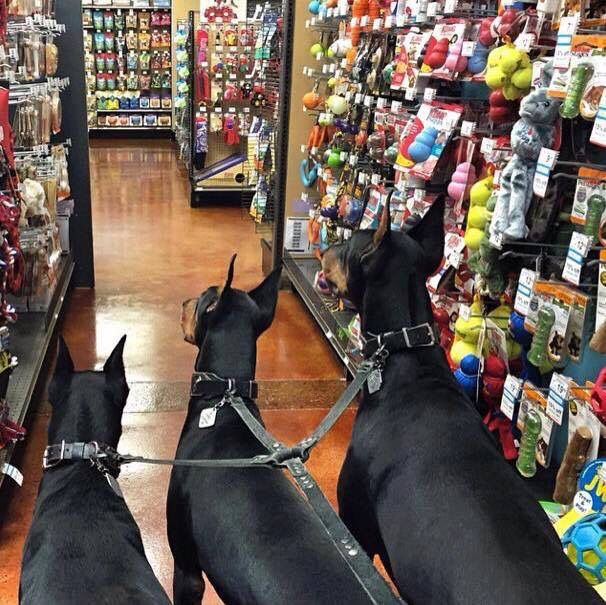 Love it!!!! Squee!!! 3 Dobies at a pet store, what is more awesome than that @etiger13 #Dobermans #Visitingpetstore