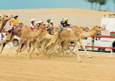 Le concours de chameaux
