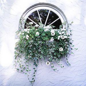 all white container garden  Geranium (Pelargonium 'Orbit White'), Ivy (Hedera helix 'Glacier'), Bacopa (Sutera 'Snowstorm'), Impatiens 'Xtreme White'