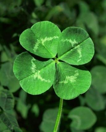 Four leaf clover | HAPPY ST. PATRICK's DAY