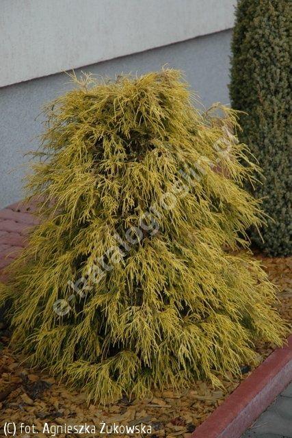 cyprysik groszkowy 'Filifera Aurea' - Chamaecyparis pisifera 'Filifera Aurea' | Katalog roślin - e-katalog roślin