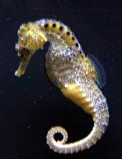seahorse pictures | Tropical Marine Fish Picture Image - Sea Horse.