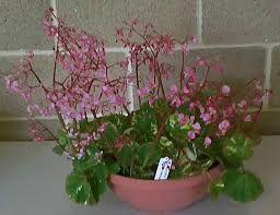 begonia manicata aureo-maculata