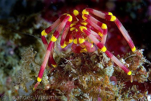 Sea Spider @ Jervis Bay
