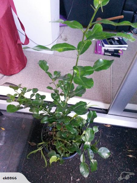 Very healthy spiky kaffir lime(7years old)