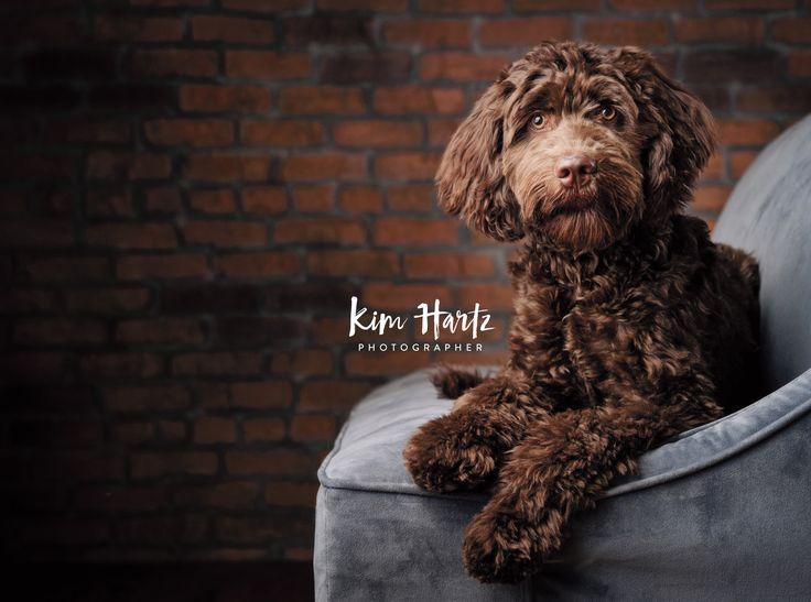 Kim Hartz Photographer Pet Portraits Pet Photographer Labradoodle Pet Phot Family Pet Photography Dog Photoshoot Pet Photography Pet Photography Studio