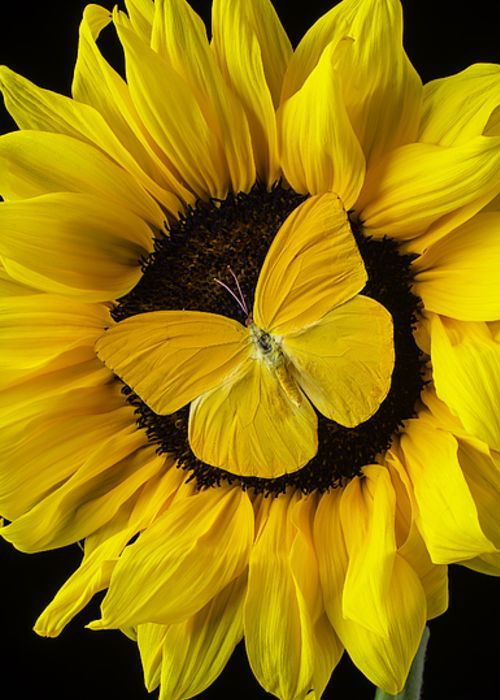 Yellow Butterfly On Sunflower Greeting Card | The church ...