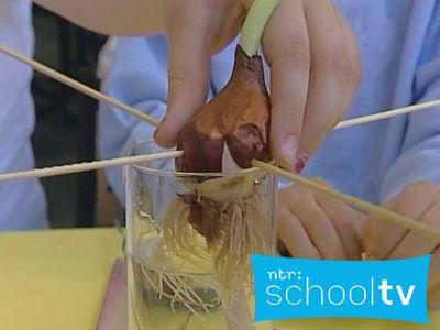 De groei van een tulp - Schooltv / Netwijs.nl - Maakt je wereldwijs