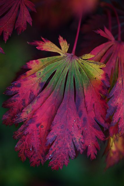 "Acer Japonicum aconitifolium ""The Fern Leaf Maple"""