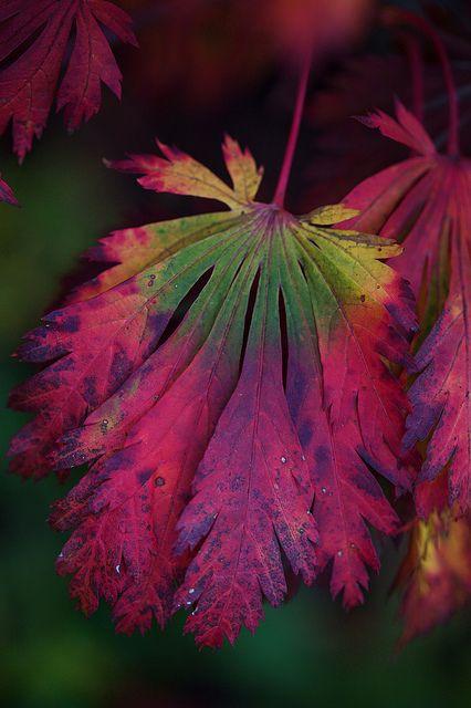 """Acer Japonicum aconitifolium """"The Fern Leaf Maple"""""""