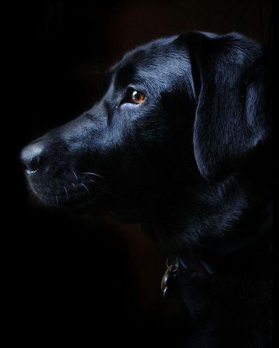 192 best Labrador Dog Art images on Pinterest | Labrador ...