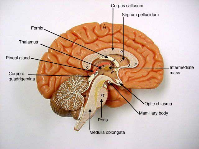 20 Best Somso Models Anatomy Images On Pinterest Anatomy Anatomy