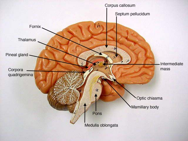 Brain Model | A&P.3.Nerve.Endocrine | Pinterest | Models ...