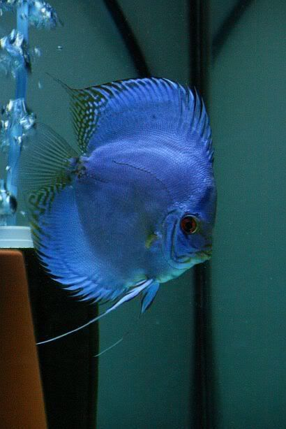this blue color for Discus bedroom fish tank...with white rocks.
