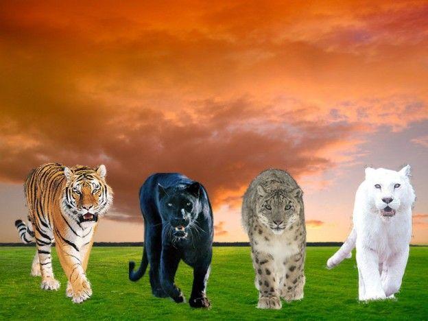 Tigris, fekete párduc,hópárduc, oroszlán
