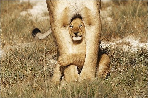 lion limbs.: Little Children, Big Cats, Mothers, Baby Animal, Baby Lion, Peekaboo, Lion Cubs, Peek A Boo, First Place