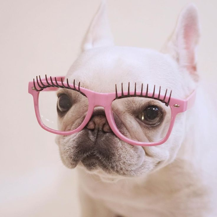 """""""Finally 'readers' I don't feel silly wearing!"""", who's a Sassy French Bulldog, you are!"""