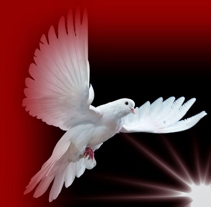 15 Best Tauben Images On Pinterest White Doves Holy Spirit And