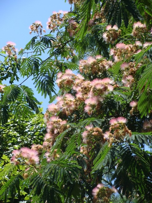 how to grow water mimosa