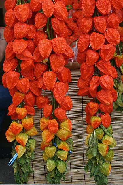 best chinese lanterns.. and honesty my favourite plants images, Beautiful flower