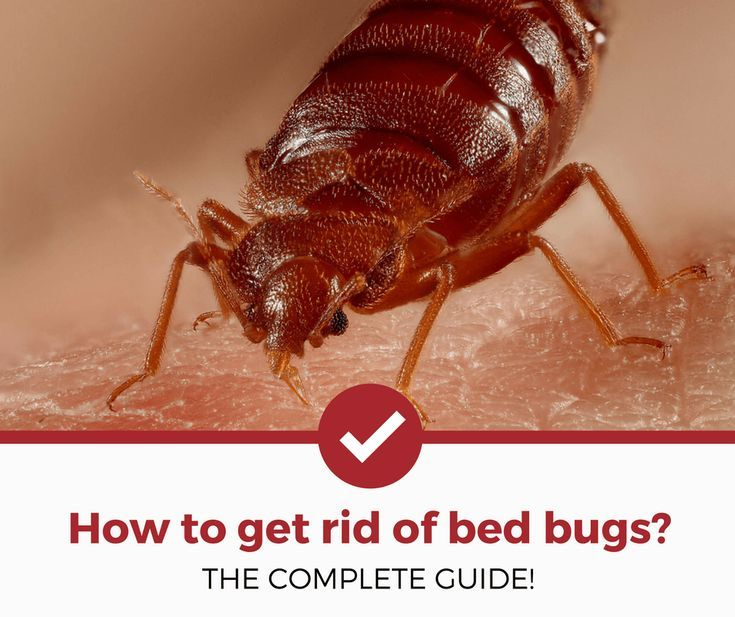 How To Get Rid Of Bed Bugs Bed Bugs Rid Of Bed Bugs Bed Bug