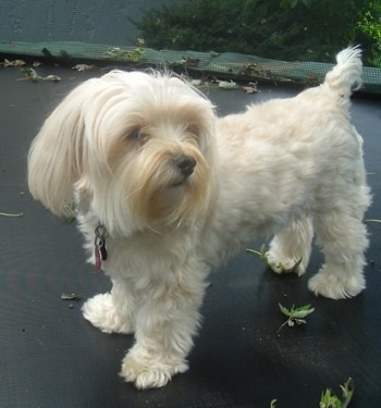 Bella The Maltese Yorkie Hybrid Dog Her Owners Go By The