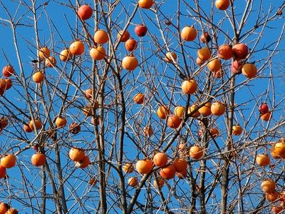 How to Transplant Fuji Persimmon Fruit Trees