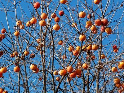 How to Transplant Fuji Persimmon Fruit Trees