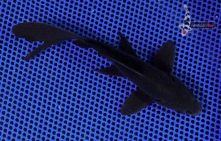 "6 7"" Blackout Comet Goldfish Live Fish for Koi Pond Nextdaykoi NDK | eBay"